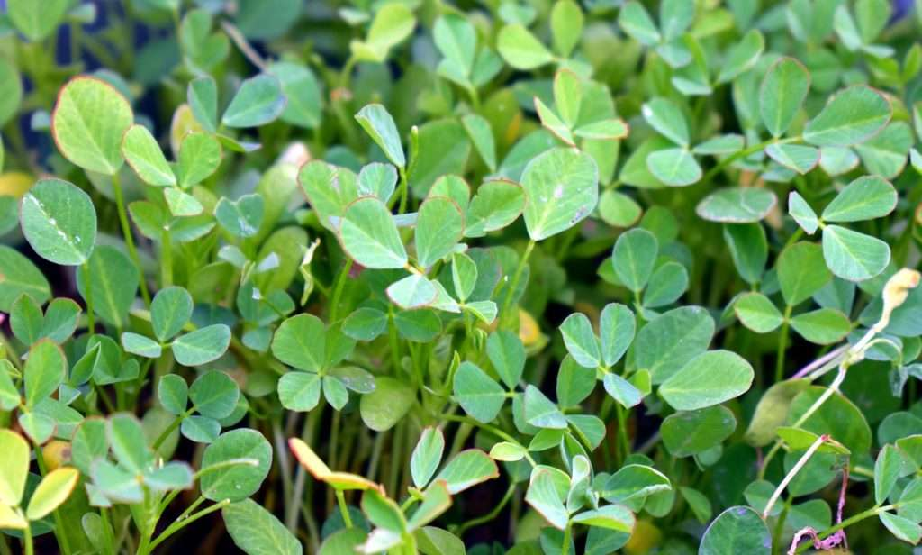 fenugreek-herb